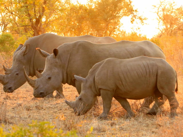 3 rhinos eating grass with the sunset in the background